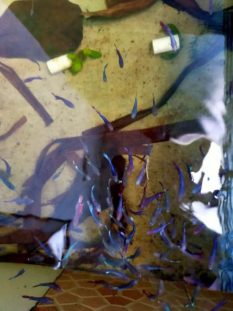 Jual Ikan Cupang Murah