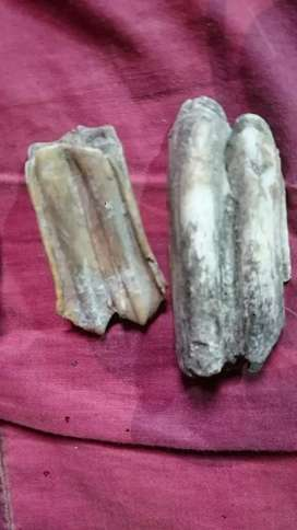 Gigi purba alami