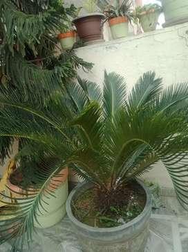 Christmas tree and khurma palm