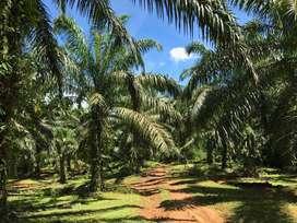 Tanah Kebun Kelapa Sawit 15 Hektar Bengkulu
