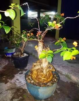 Bonsai bougenvel