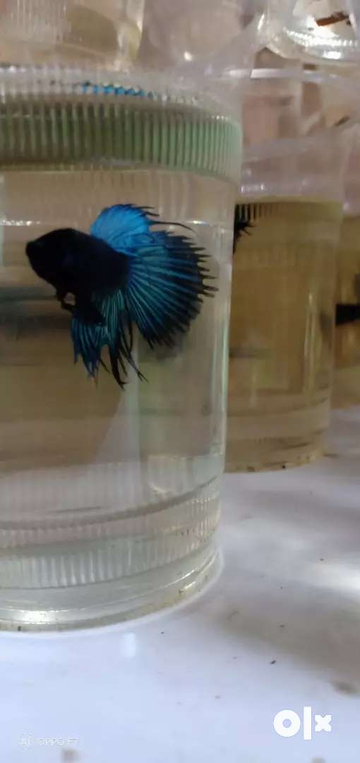 Crown tail betta for sale 0