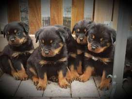 Top quality show lines rottweiler puppies from pedigree parents