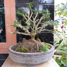 Bonsai mame(mikro) bahan kemuning