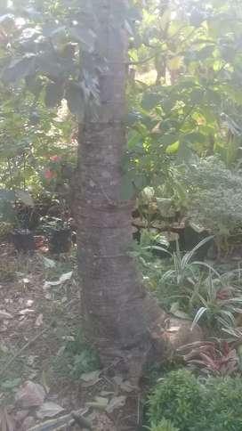 Jual pohon adansonia kaki gajah