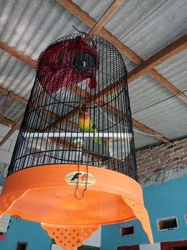 Sarang burung pluss lakbred