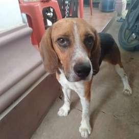 Anjing Beagle jantan