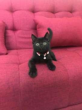 Kucing british shorthair/ british short hair BSH