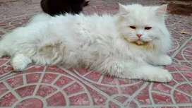 3 male cats for sale age one year trple coated