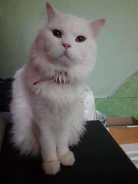 Pure percian cat in white colour