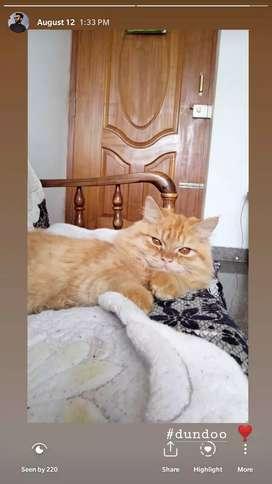 Persian cross breed kitten