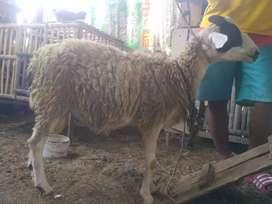 kambing untuk aqiqoh