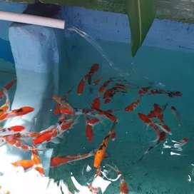 Ikan Koi BDS1 balikpapan