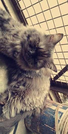 Pure persian cat (male)