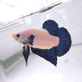 Ikan cupang Blue Rim Bicolor Top Grade ! Ikan Cupang Sultan