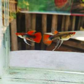 Koi texido ribbon juveniles available @350