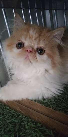 Kucing Persia Peaknose Extreme Jantan