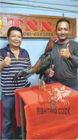 Ayam Aduan Import di Kalimantan Selatan