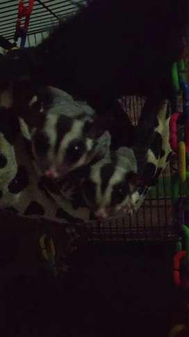 Jual sugar glider joey / anakan (umur kisaran 3-4 bulan)