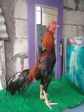 Ayam Birma Silangan bk