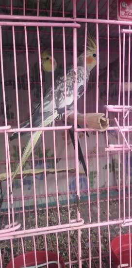 Cocktail breeder pair for sale exchange posible male gray female pearl