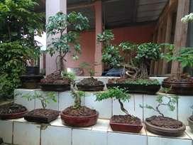 Bonsai tanaman berbagai jenis