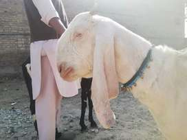 Pregnant Makhi cheeni beetal and abluq breed avalible