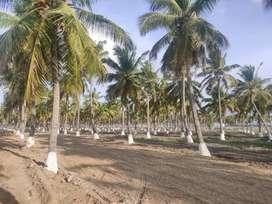 Coconut Farm Land for Sale udumalpet