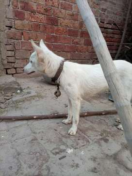 Russian  german breed female Age 4 to 5 months
