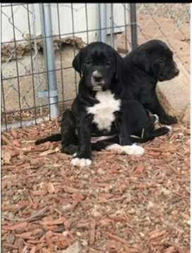 English pointer puppies for sale contact whatsapp