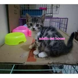 Kucing munchkin NS/Non Standart/tidak cebol