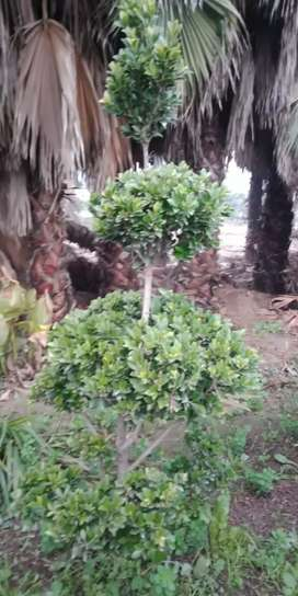 All kind of plants available delivered all over pakistan from pattoki