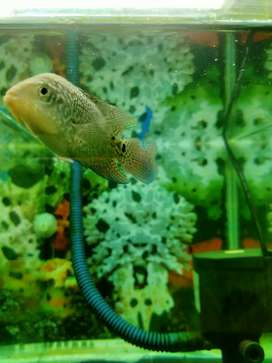 Ikan louhan tipe f2kamfa