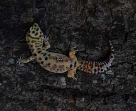 Leopard gecko jantan jumbo size
