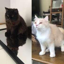 Jual kucing anggora sepasang