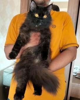 Kucing persia black betina