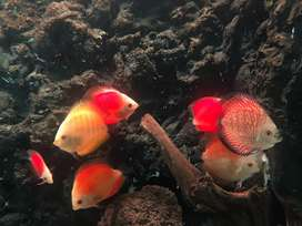 Ikan diskus variasi warna
