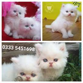 """""""Excellent pretty kittens available"""