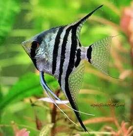 Angelfish varieties