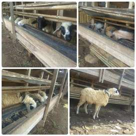 Kambing aqiqah best Seller