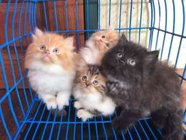 44 days old persian kitten for sale