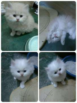 HEAVY BONE PERSIAN KITTEN FOR SALE