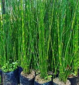 Pohon paku kuda/ bambu air