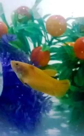 Ikan Cupang Hias Banana Yellow Female