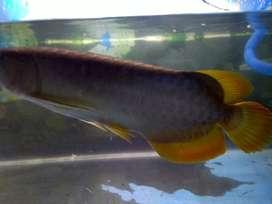 Ikan Arwana gold