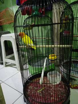 Jual burung Lovebird prospek daerah Tangerang city