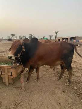 Bakra and wacha for sale