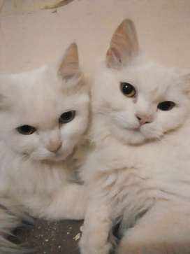 persian cat pair for sell
