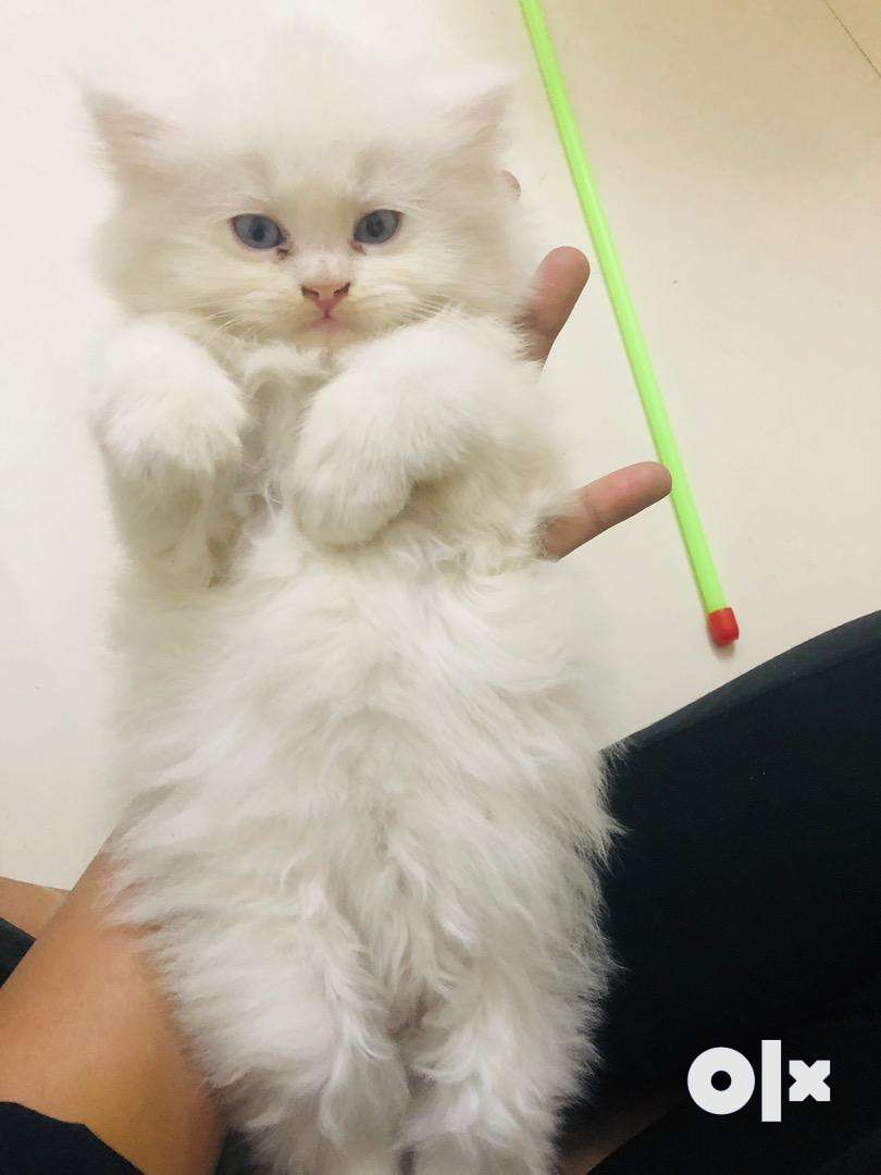 persian kittens availbe here 0