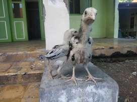 Ayam trah chu shamo x aseel mangon umur 1 bulan favorite